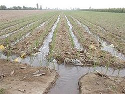 figure furrow irrigation